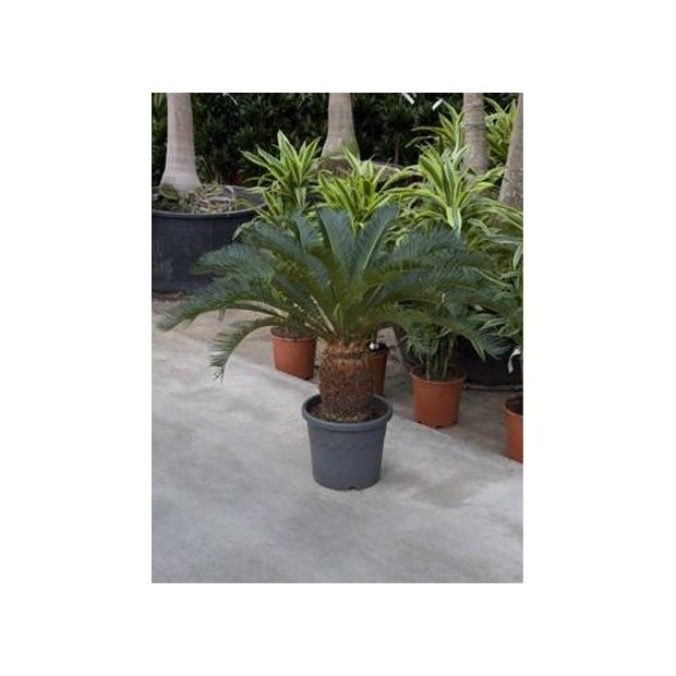 cycas revoluta 100cm tronc 35 40cm plantes et jardins. Black Bedroom Furniture Sets. Home Design Ideas