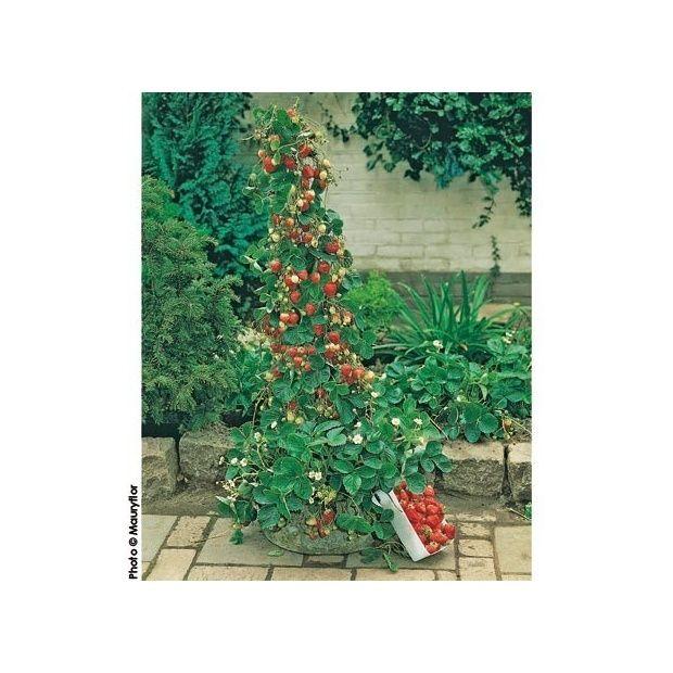 fraisier 39 mount everest 39 plantes et jardins. Black Bedroom Furniture Sets. Home Design Ideas