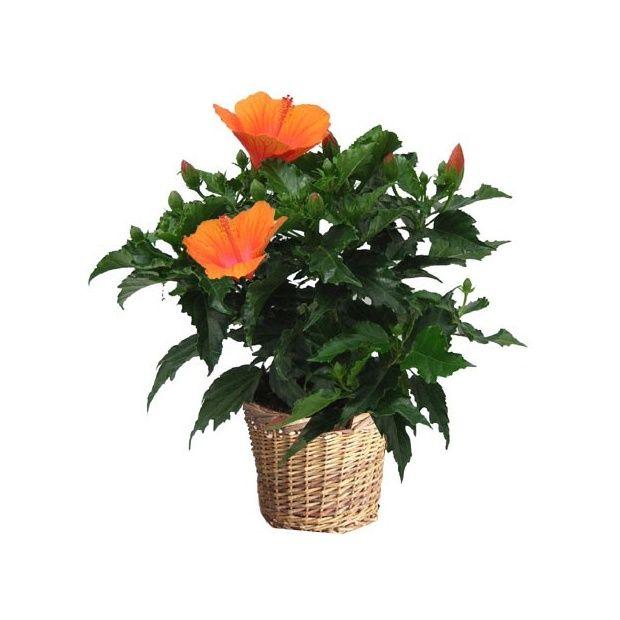 Hibiscus en pot a l exterieur 28 images jardini 232 re for Arrosage hibiscus exterieur
