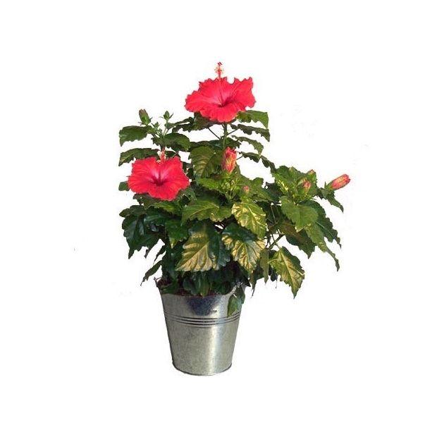 Sp cial f te des m res hibiscus rouge avec son cache pot - Hibiscus exterieur en pot ...