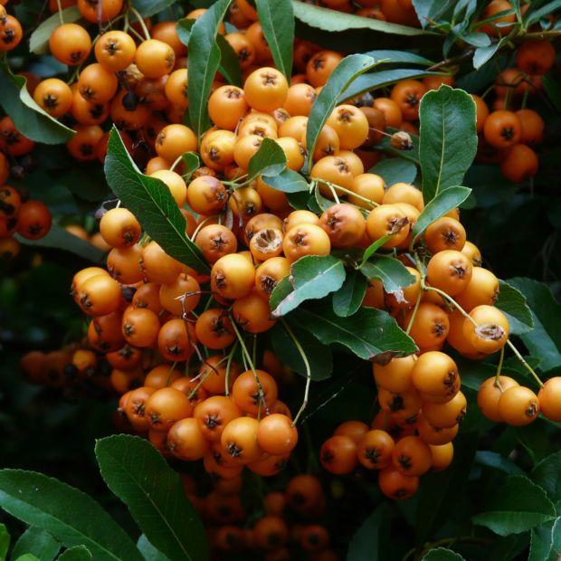 Buisson ardent 39 saphyr orange 39 cadange plantes et jardins for Buisson synthetique