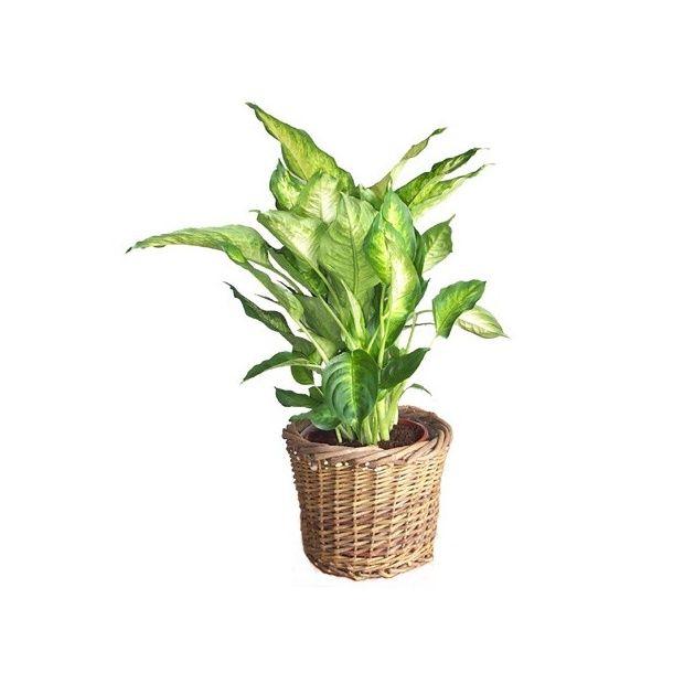 dieffenbachia 39 compacta 39 cache pot tress plantes et jardins. Black Bedroom Furniture Sets. Home Design Ideas