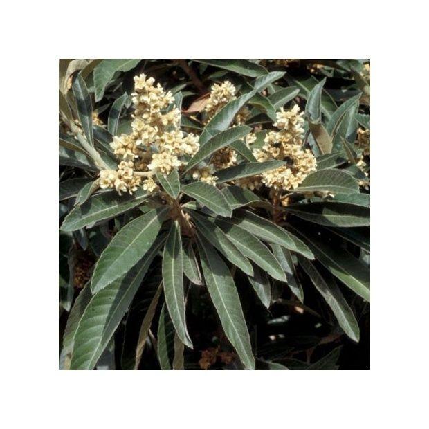 N flier du japon plantes et jardins for Espaces verts du languedoc