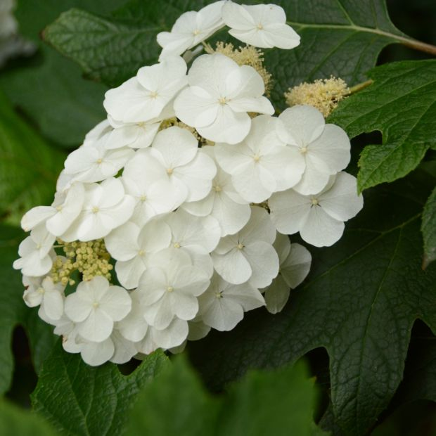 Hortensia feuilles de ch ne plantes et jardins for Catalogue de plantes