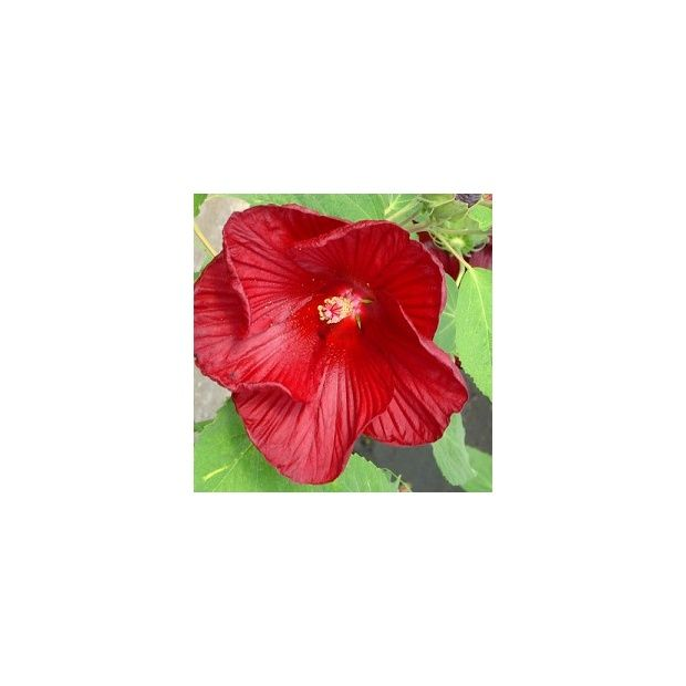 Hibiscus moscheutos 39 rouge 39 plantes et jardins for Hibiscus exterieur rouge