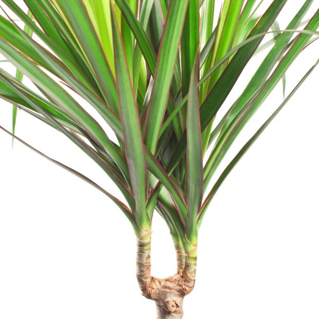dracaena marginata 160 170cm 4 pieds plantes et jardins. Black Bedroom Furniture Sets. Home Design Ideas