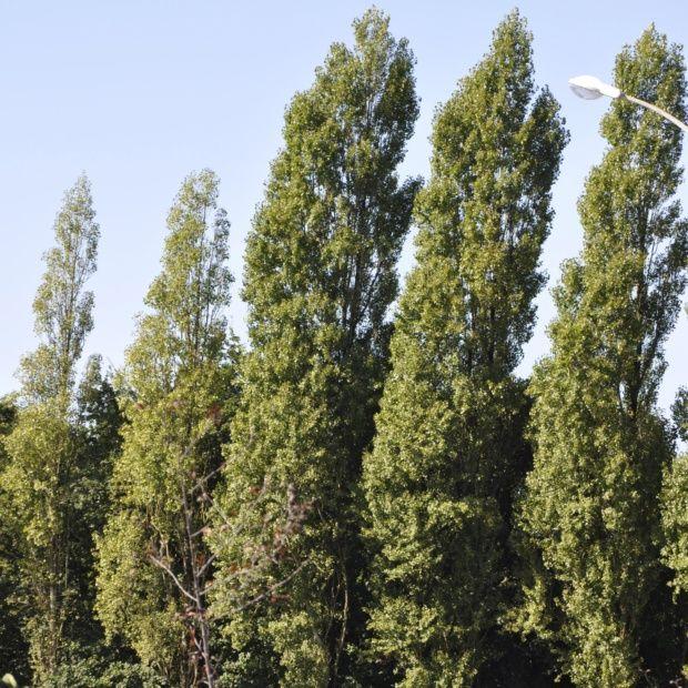 Peuplier d 39 italie plantes et jardins for Jardin d italie chateauroux