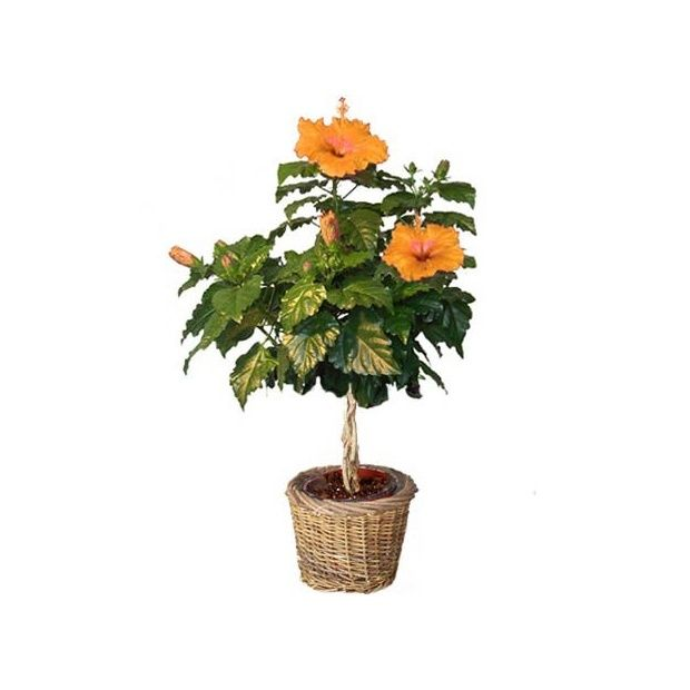 hibiscus tige orange cache pot livraison express plantes et jardins. Black Bedroom Furniture Sets. Home Design Ideas