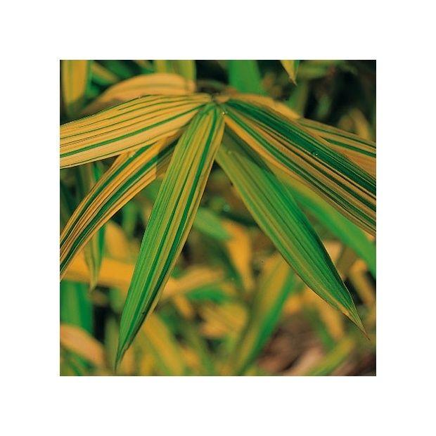 bambou nain pleioblastus viridistriatus auricoma plantes et jardins. Black Bedroom Furniture Sets. Home Design Ideas