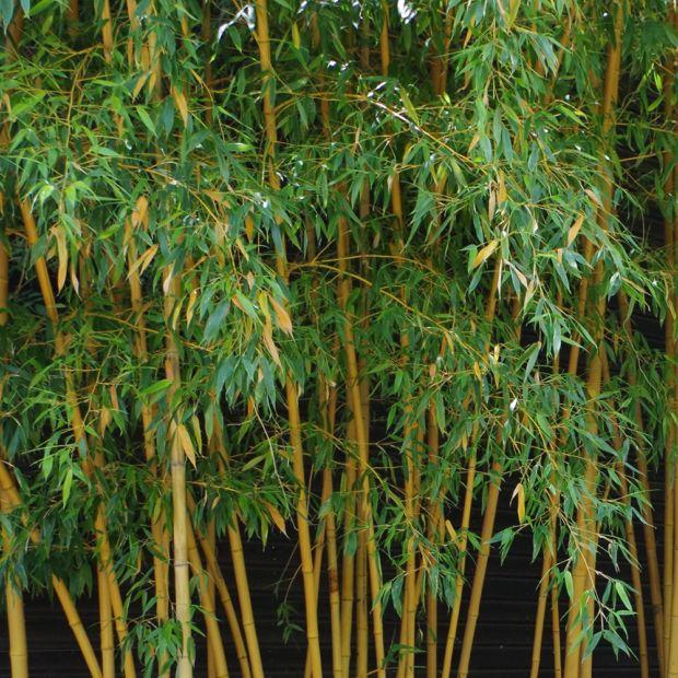 Bambou moyen phyllostachys aurea 39 holochrysa 39 plantes for Bambou synthetique exterieur