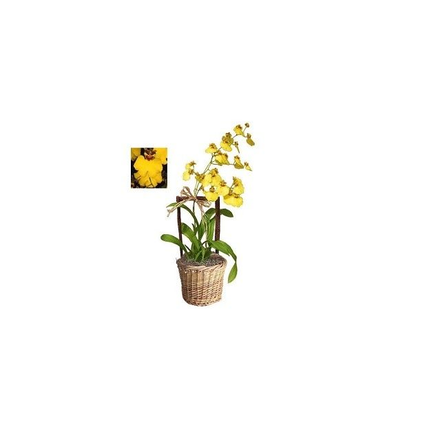 orchid e oncidium jaune cache pot livraison express plantes et jardins. Black Bedroom Furniture Sets. Home Design Ideas