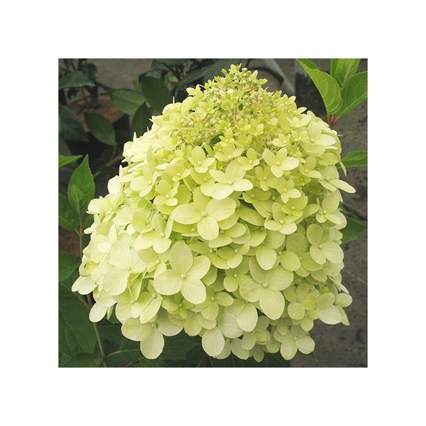hortensia paniculata 39 limelight plantes et jardins. Black Bedroom Furniture Sets. Home Design Ideas