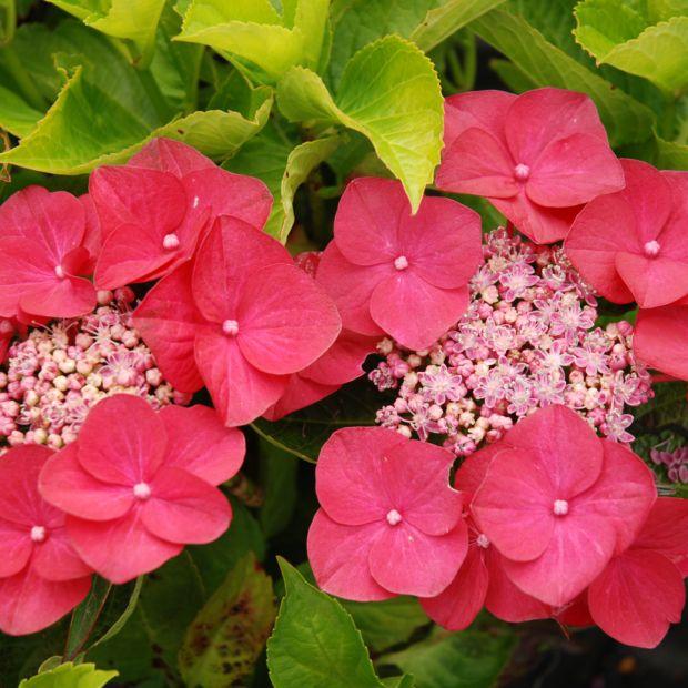Hortensia 39 fasan 39 plantes et jardins - Maladie des hortensias photos ...