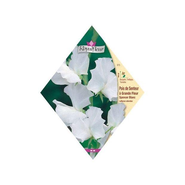 pois de senteur 39 spencer 39 g ant blanc plantes et jardins. Black Bedroom Furniture Sets. Home Design Ideas