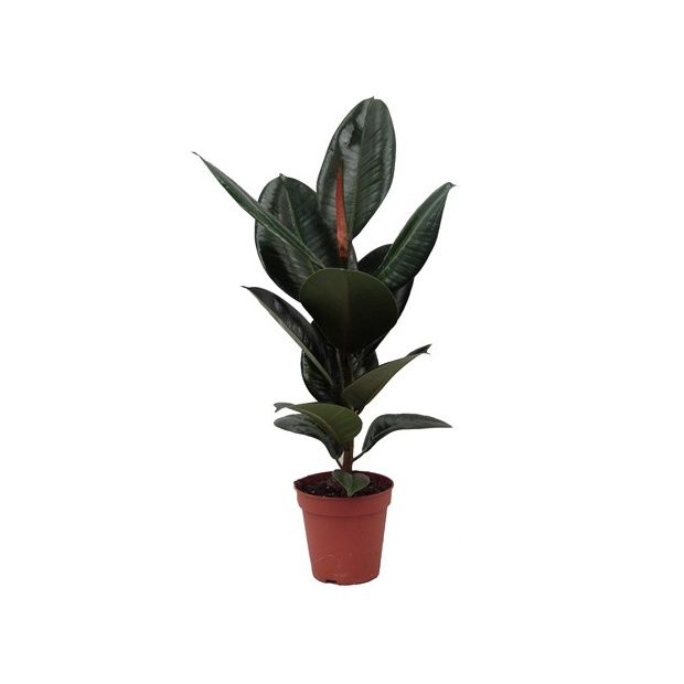 Ficus caoutchouc plantes et jardins for Caoutchouc plante exterieur