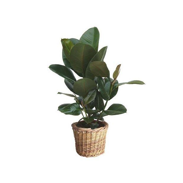 Caoutchouc ramifi cache pot livraison express for Caoutchouc plante exterieur
