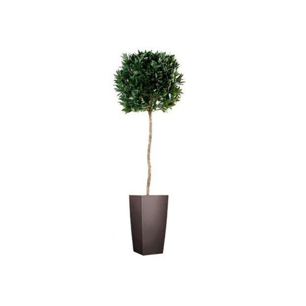 Laurier boule sur tige h150cm pot lechuza plantes et - Laurier tige en pot ...