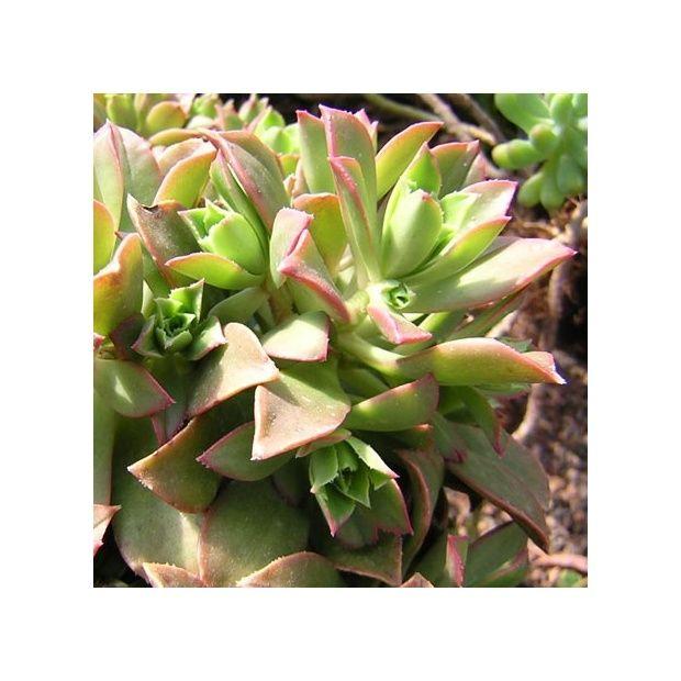 aeonium decorum plantes et jardins. Black Bedroom Furniture Sets. Home Design Ideas