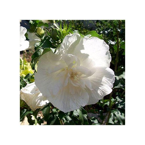 Hibiscus syriacus 39 white chiffon 39 plantes et jardins for Hibiscus exterieur rouge