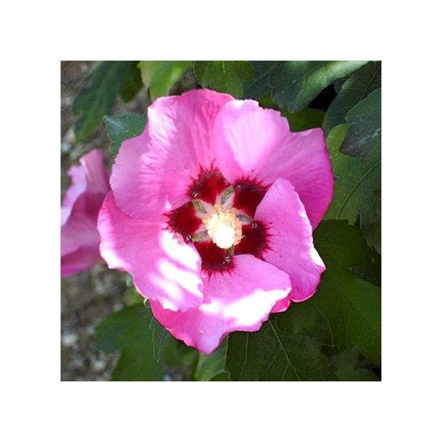 hibiscus syriacus 39 pink giant 39 plantes et jardins. Black Bedroom Furniture Sets. Home Design Ideas