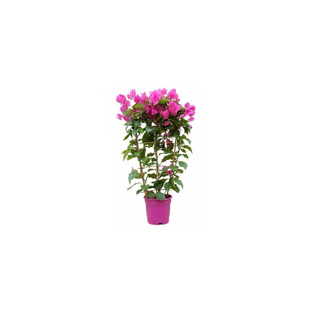 Bougainvill e en fleurs paliss plantes et jardins for Fleurs plantes et jardins