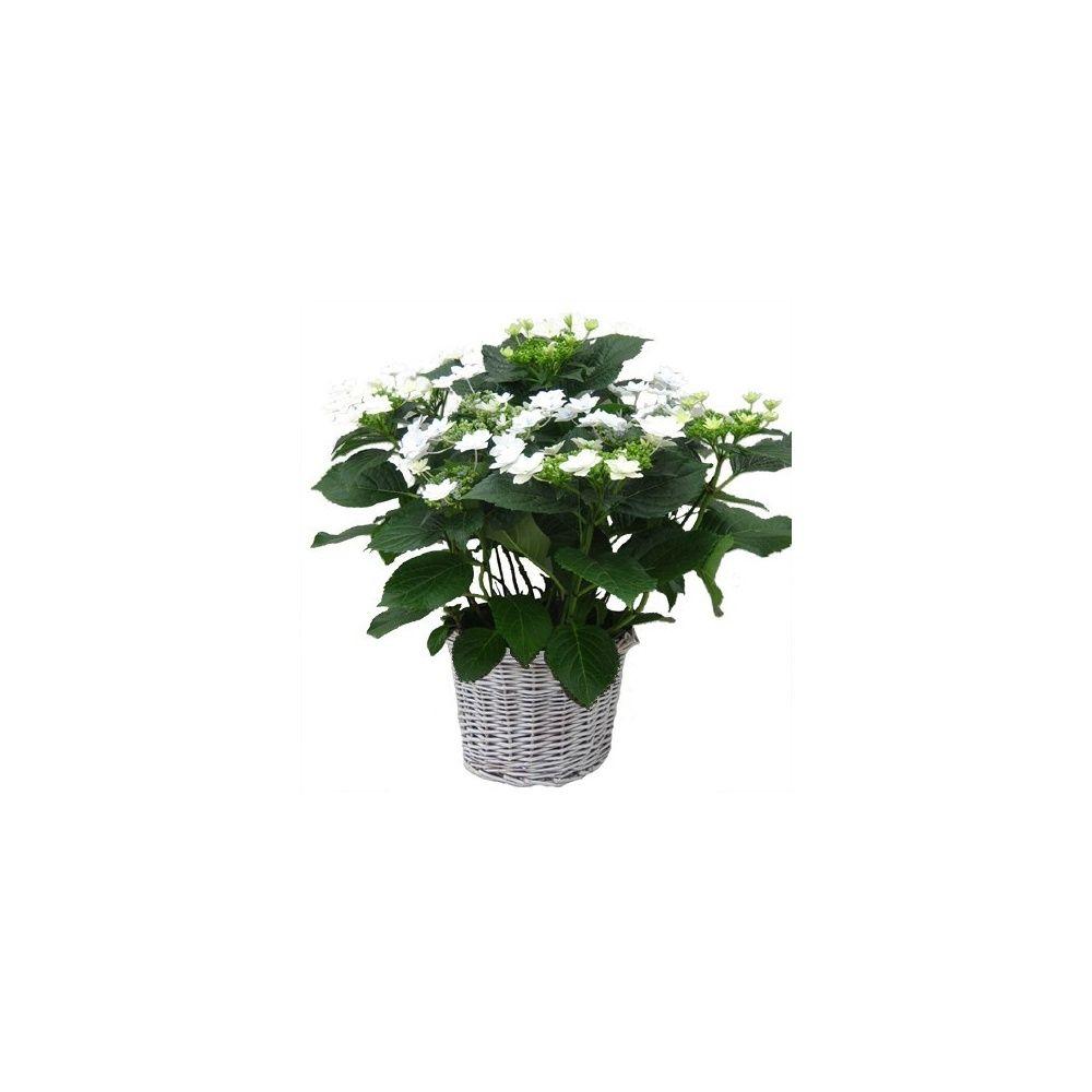 hortensia 39 feu d 39 artifice 39 cache pot plantes et jardins. Black Bedroom Furniture Sets. Home Design Ideas