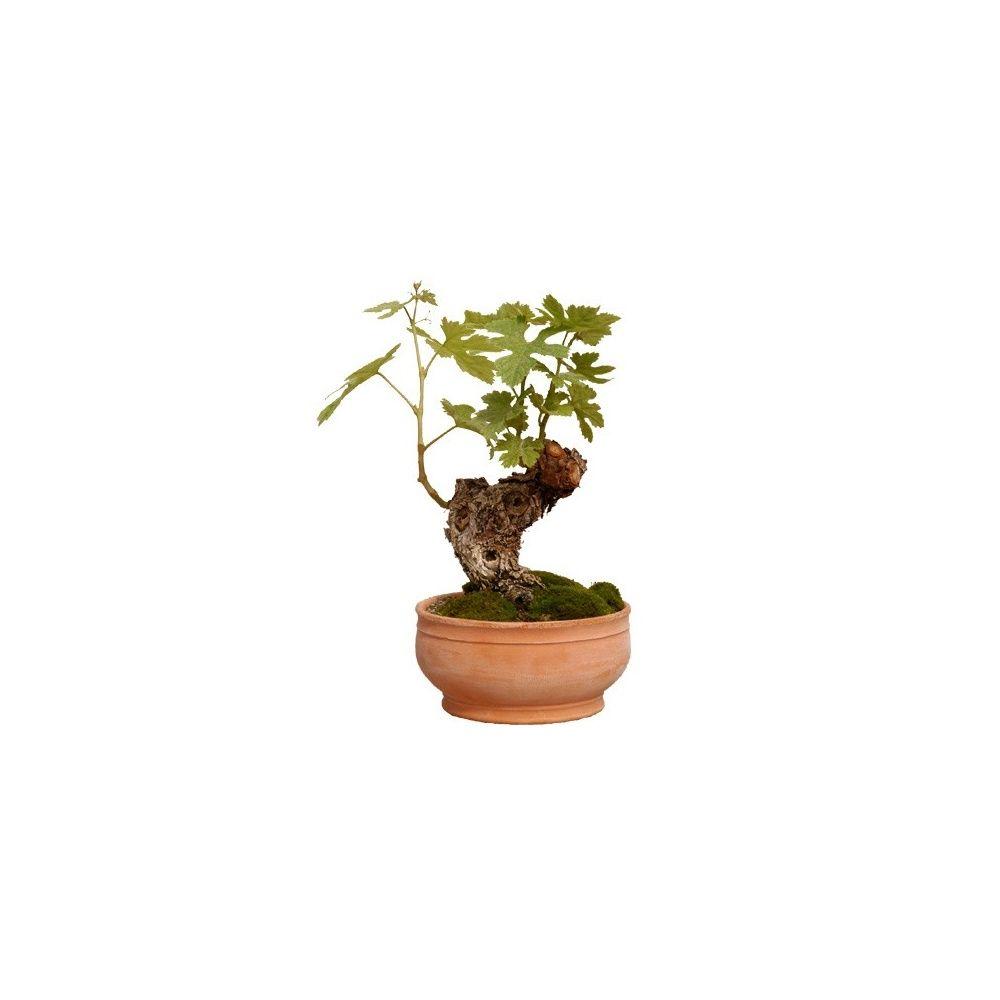 Mini cep de vigne plantes et jardins - Planter un pied de vigne ...
