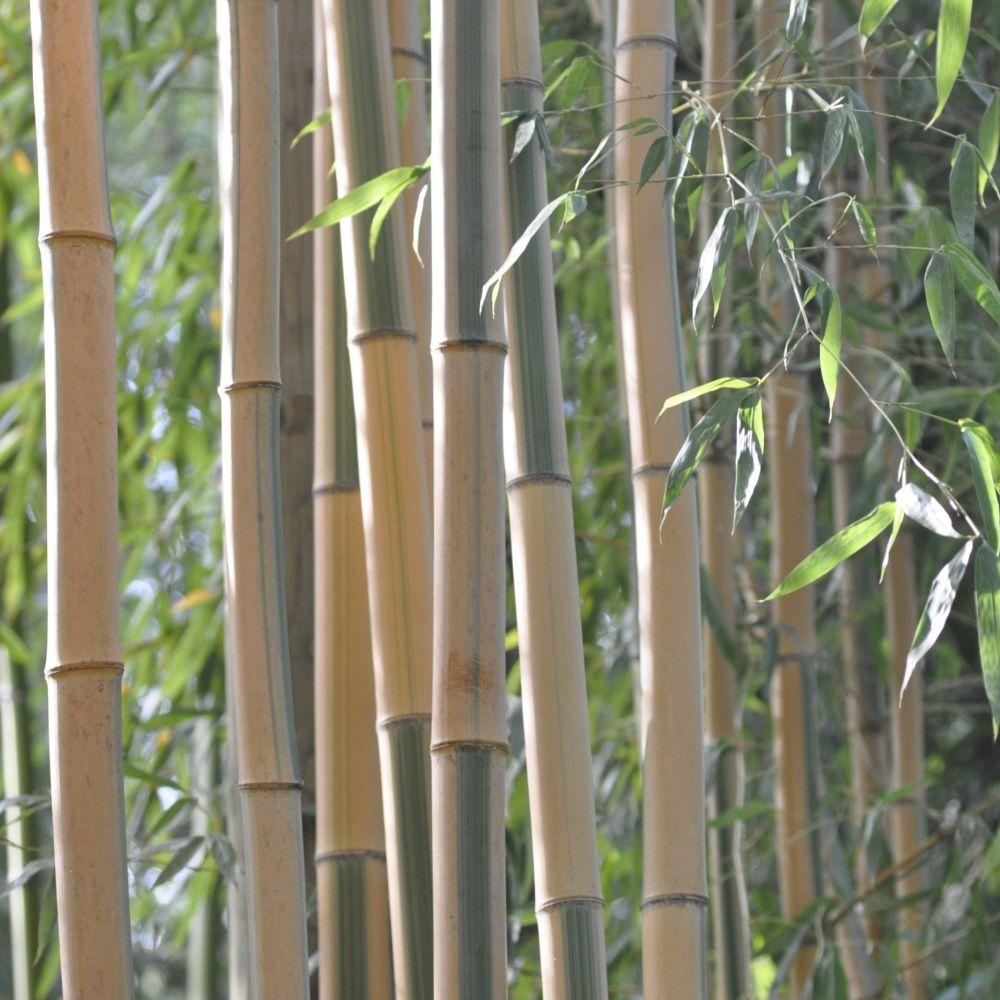 bambou decoratif exterieur. Black Bedroom Furniture Sets. Home Design Ideas