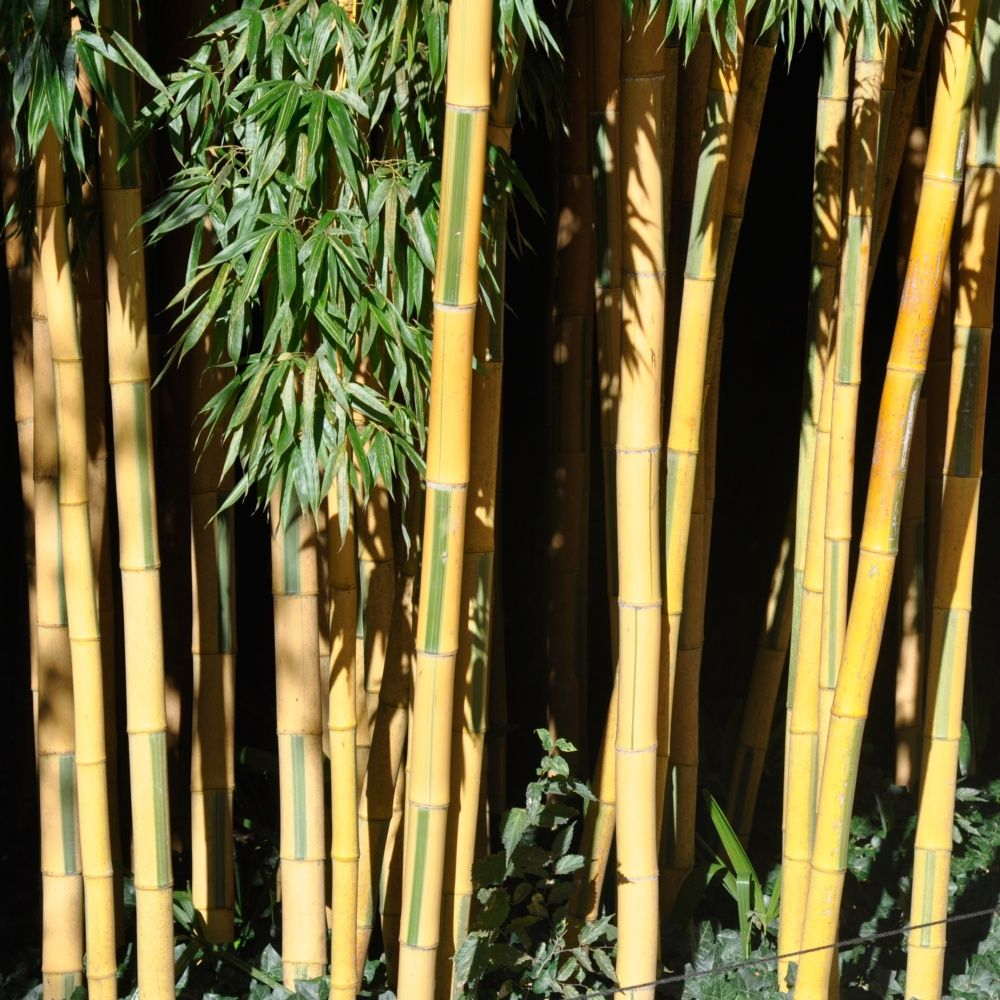 bambou g ant phyllostachys bambuso des 39 castillonis. Black Bedroom Furniture Sets. Home Design Ideas