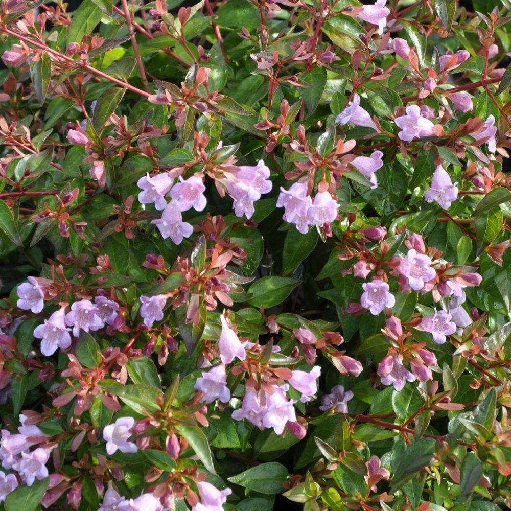 Ab lia 39 edouard goucher 39 plantes et jardins for Plante et jardin catalogue
