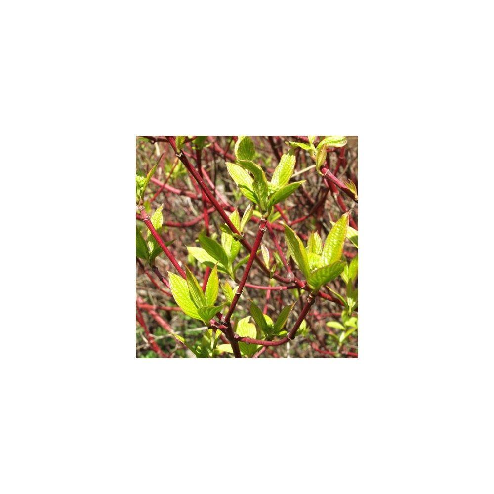 Cornouiller blanc 39 sibirica 39 plantes et jardins for Plante et jardin catalogue