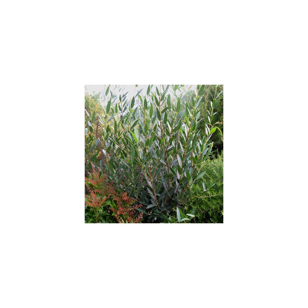 Filaire feuilles troites plantes et jardins for Plante 5 feuilles