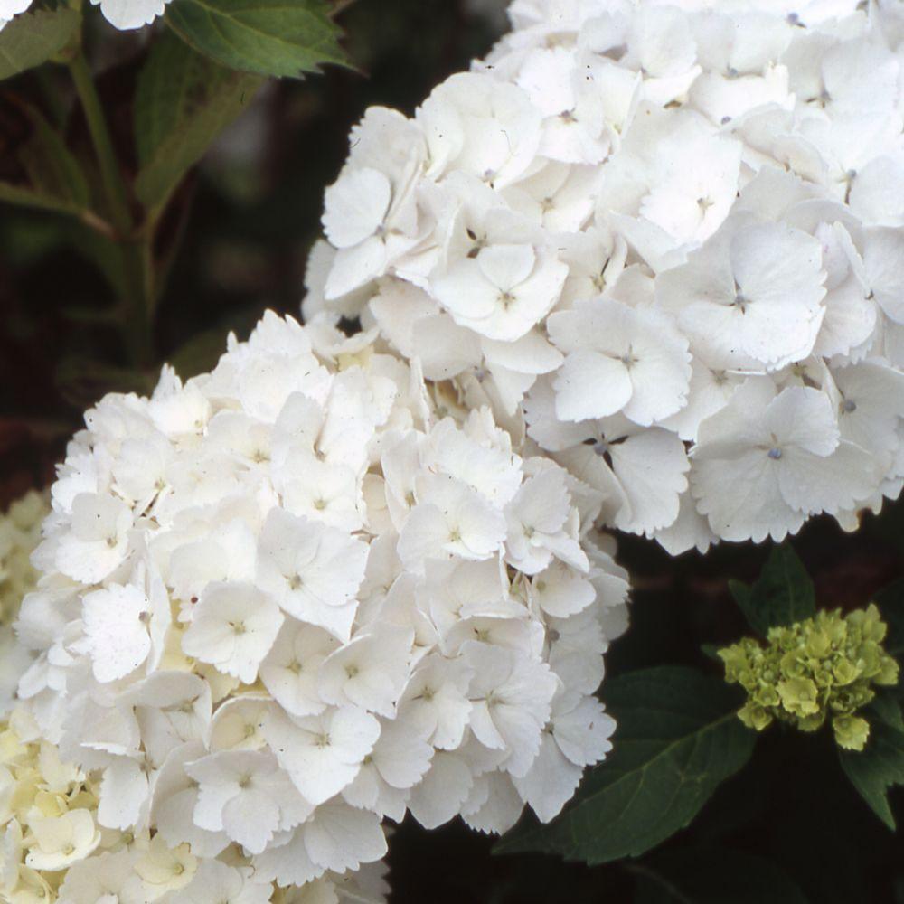 hortensia 39 madame emile moulli re 39 collection 1900 plantes et jardins. Black Bedroom Furniture Sets. Home Design Ideas