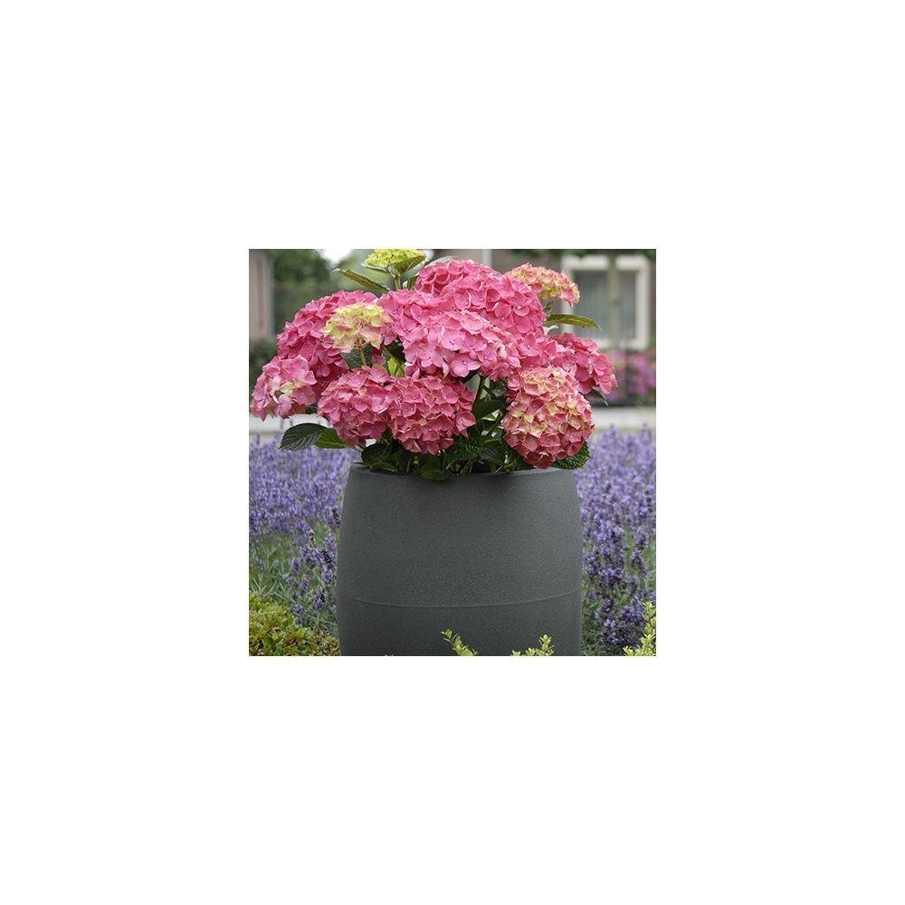 hortensia macrophylla 39 forever and ever 39 rose plantes et. Black Bedroom Furniture Sets. Home Design Ideas