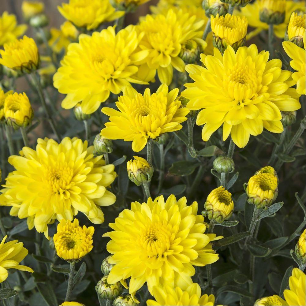chrysanth me de jardin 39 multifleurs 39 jaune plantes et jardins. Black Bedroom Furniture Sets. Home Design Ideas