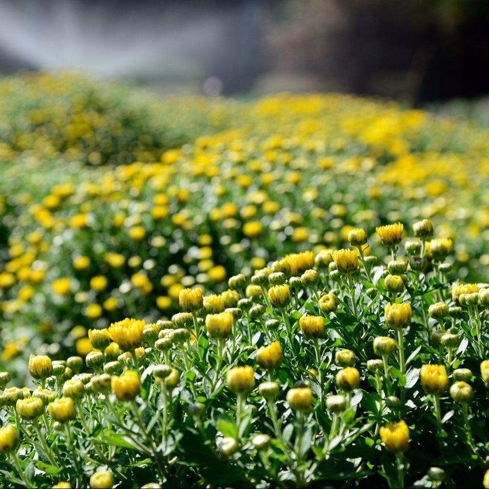 Chrysanth me de jardin 39 multifleurs 39 jaune plantes et for Plantes et jardins adresse