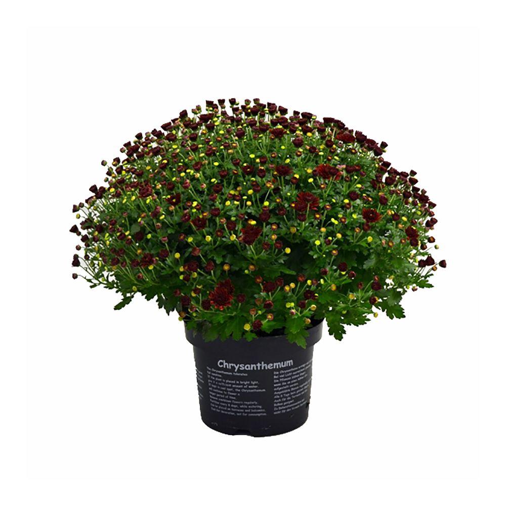 Chrysanth me de jardin 39 multifleurs 39 rouge plantes et for Jardin et plantes