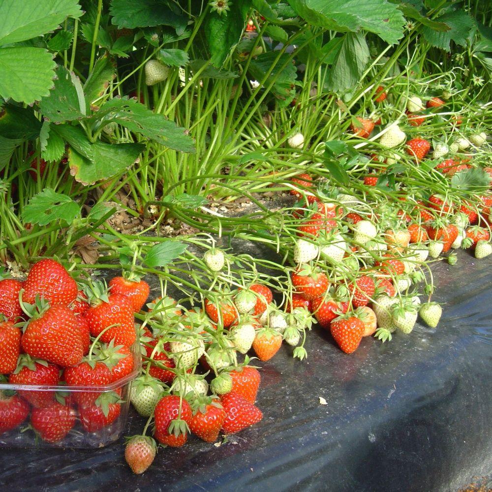 Fraisier 39 matis 39 le lot de 20 plantes et jardins - Plante et jardins ...