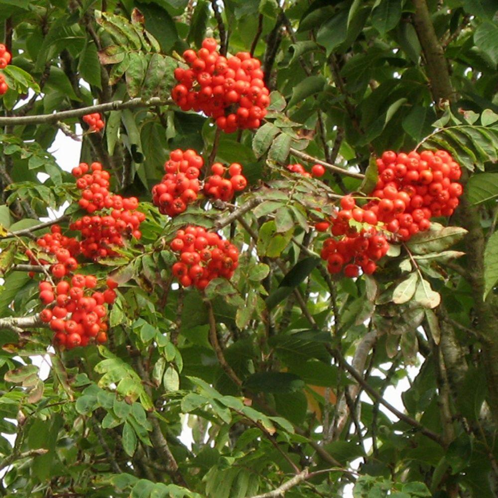 Sorbier des oiseaux plantes et jardins - Www plantes et jardins com ...