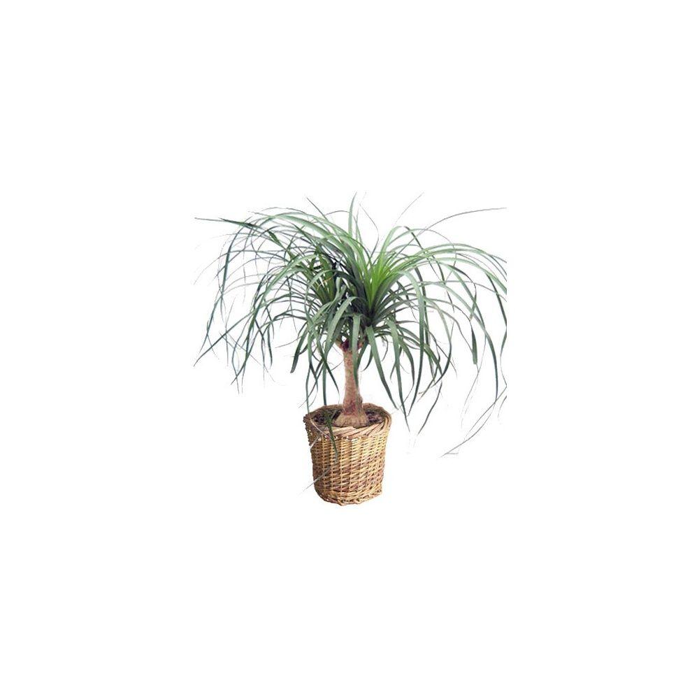 beaucarnea tronc cache pot tress plantes et jardins. Black Bedroom Furniture Sets. Home Design Ideas
