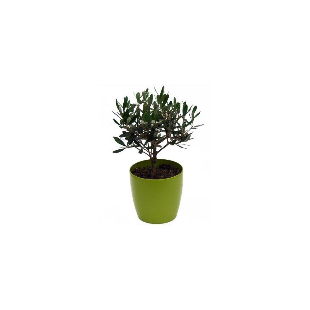 olivier cache pot olive plantes et jardins. Black Bedroom Furniture Sets. Home Design Ideas
