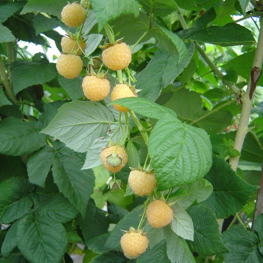 Framboisier 39 fallgold 39 plantes et jardins for Plantes et jardins adresse