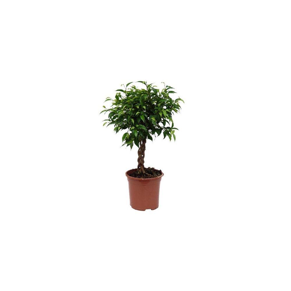 ficus natacha tronc tress plantes et jardins. Black Bedroom Furniture Sets. Home Design Ideas