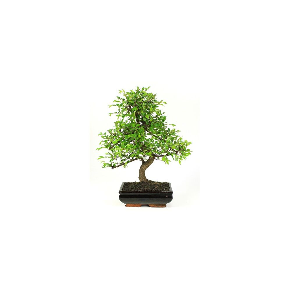 bonsa 239 d int 233 rieur zelkova 8 ans plantes et jardins