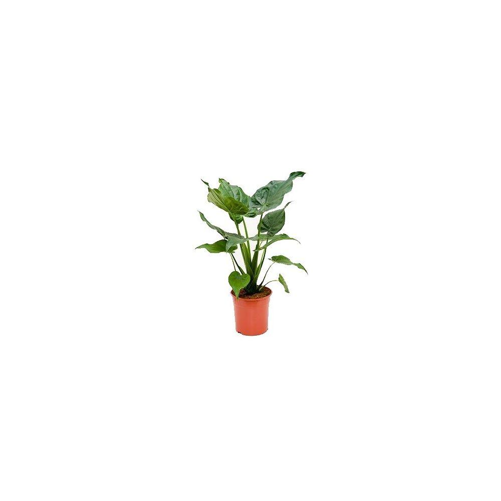 Alocasia calidora plantes et jardins for Plante et jardins