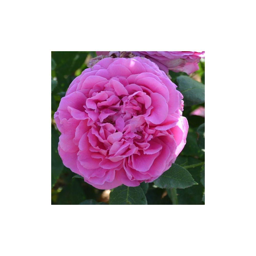 Rosier ancien 39 paul neyron 39 rosier guillot plantes et - Bouturer un rosier ancien ...