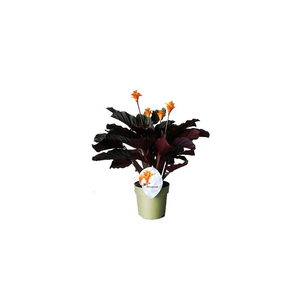 Calathea crocata plantes et jardins - Www plantes et jardins com ...