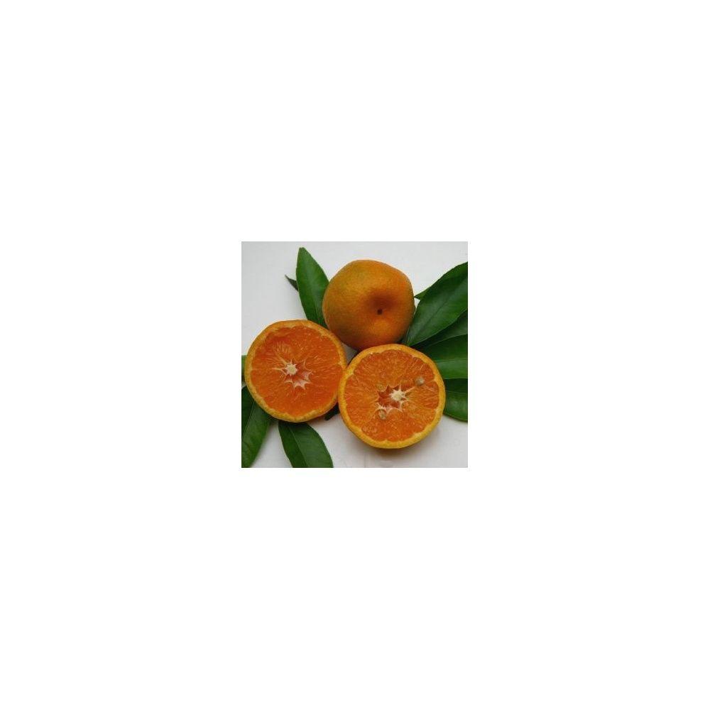 mandarinier 39 fortune 39 plantes et jardins. Black Bedroom Furniture Sets. Home Design Ideas