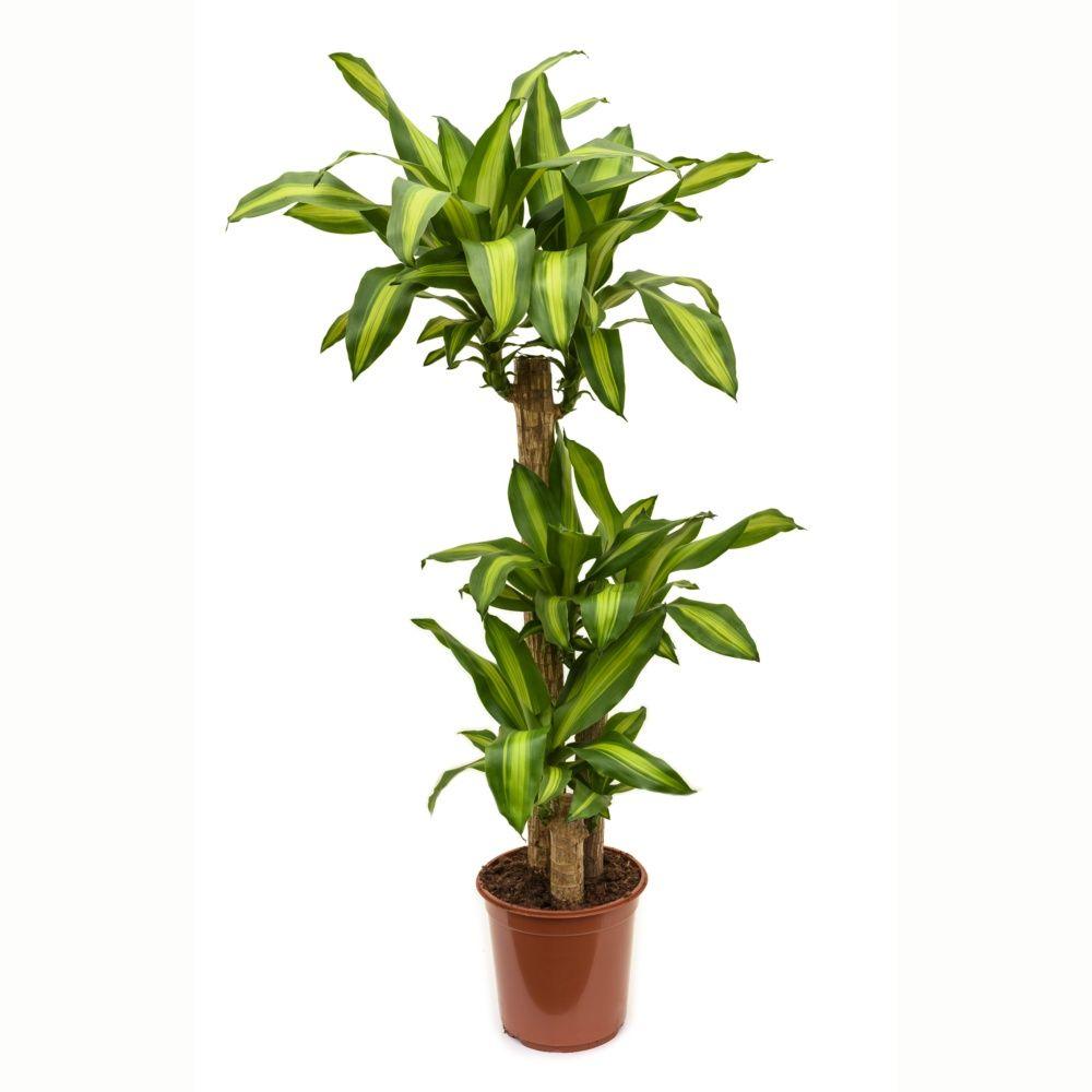 Dracaena massangeana 2 cannes plantes et jardins for Maladie plante verte interieur