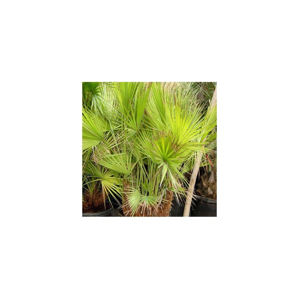 Palmier des everglades plantes et jardins - Plante et jardins ...